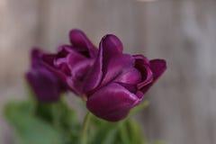 黑暗的紫色郁金香 免版税库存照片