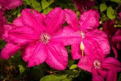 黑暗的紫色铁线莲属花 库存图片