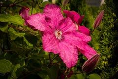 黑暗的紫色铁线莲属花 免版税库存图片