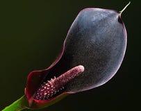 黑暗的水芋属 免版税图库摄影