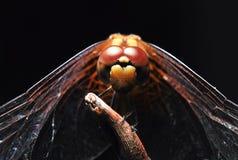 黑暗的蜻蜓 免版税库存照片
