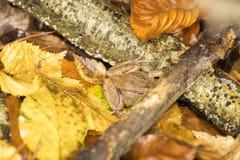 暗藏的布朗青蛙 免版税库存照片