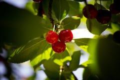 暗藏的樱桃 库存照片