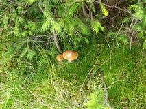 暗藏的蘑菇 库存图片