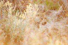 暗藏的豹子 免版税库存照片