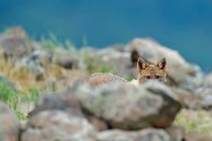 暗藏的金黄狐狼,葡萄球菌的犬属,与岩石草甸, Madzharovo,东Rhodopes,保加利亚的哺养的场面 野生生物巴尔干 通配 免版税图库摄影