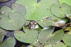 暗藏的青蛙在池塘 库存照片