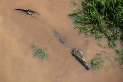 暗藏的鳄鱼 库存照片