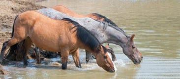 暗褐色与野马牧群小带的Bucksin母马饮用水在waterhole的在普莱尔山野马范围 库存照片