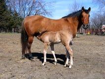 暗褐色产驹她的母马 免版税图库摄影