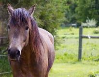 暗褐色马 免版税库存照片