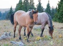 暗褐色鹿皮和红色软羊皮的野马母马在死的木头旁边在普莱尔山野马在蒙大拿U排列 库存图片