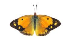 黑暗覆盖了黄色蝴蝶-女性,隔绝在白色 库存照片