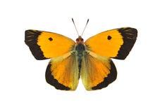 黑暗覆盖了黄色蝴蝶-男性,隔绝在白色 图库摄影