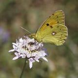 黑暗从欧洲的被覆盖的黄色蝴蝶 免版税库存照片