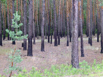 黑暗,杉木森林 库存照片