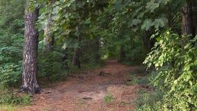 黑暗,杉木森林 免版税库存图片