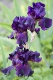 黑暗紫罗兰色虹膜开花 库存照片