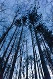 暮色树木天棚 库存图片