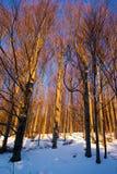 暮色的林木 免版税库存照片