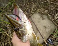 暴牙的食肉动物的河矛 免版税库存照片
