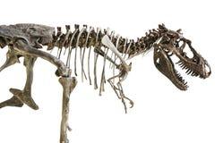 暴龙在被隔绝的背景的雷克斯骨骼 免版税库存照片