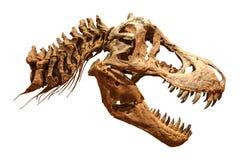 暴龙rex T雷克斯的骨骼在被隔绝的背景的 头骨和脖子 库存照片