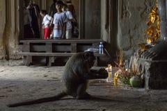 暹粒,柬埔寨- 2018年4月14日:猴子吃神提供在佛教法坛 猴子吃热带水果 库存照片