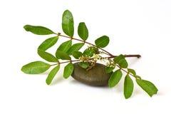 暹罗印度楝树, Nim, Margosa,奎宁(Azadirachta印度A. Juss Juss 变种 Var. Siamensis Valeton) 免版税库存照片