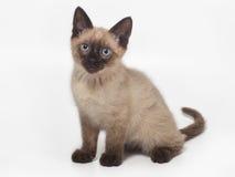 暹罗小猫 免版税库存照片