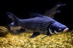 暹罗巨型鲤鱼,巨型倒钩鱼 图库摄影