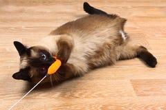 暹罗或泰国猫使用与玩具 一只残疾猫咬住并且抓玩具 三个爪子,没有肢体 免版税图库摄影