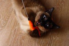 暹罗或泰国猫使用与玩具 一只残疾猫咬住并且抓玩具 三个爪子,没有肢体 免版税库存照片