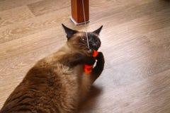 暹罗或泰国猫使用与玩具 一只残疾猫咬住并且抓玩具 三个爪子,没有肢体 库存图片