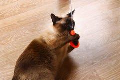 暹罗或泰国猫使用与玩具 一只残疾猫咬住并且抓玩具 三个爪子,没有肢体 免版税库存图片