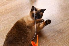 暹罗或泰国猫使用与玩具 一只残疾猫咬住并且抓玩具 三个爪子,没有肢体 库存照片
