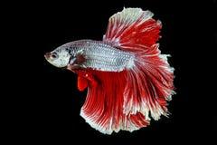 暹罗战斗的鱼,在黑背景隔绝的betta splendens 图库摄影