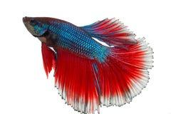 暹罗战斗的鱼, betta隔绝在与裁减路线的白色 免版税图库摄影