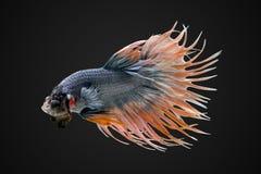 暹罗战斗的鱼, betta splendens宏观照片  免版税库存图片