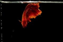 暹罗战斗的鱼, Betta splendens染黄飞翅尾巴 图库摄影