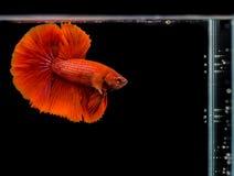 暹罗战斗的鱼, Betta splendens红色身体 免版税库存图片