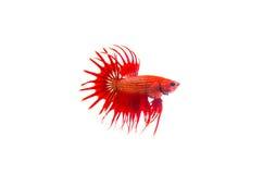暹罗战斗的鱼 免版税库存图片