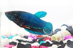 暹罗战斗的鱼 免版税图库摄影