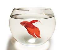 暹罗战斗的鱼(Betta鱼)在水族馆 免版税图库摄影