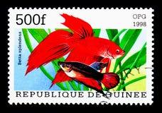 暹罗战斗的鱼(Betta Splendens),鱼serie,大约199 库存图片