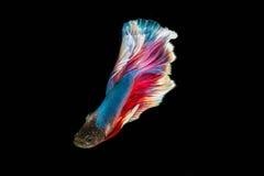 暹罗战斗的鱼;Betta splendens 免版税库存照片
