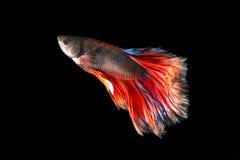 暹罗战斗的鱼;Betta splendens 免版税库存图片