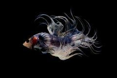 暹罗战斗的鱼Crowntail Betta 库存图片
