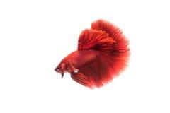 暹罗战斗的betta鱼 免版税图库摄影