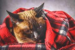 暹罗泰国猫在有一个软的玩具的格子花呢披肩被包裹 秋天,冬天的概念,冷 等待的热化,热 免版税库存照片